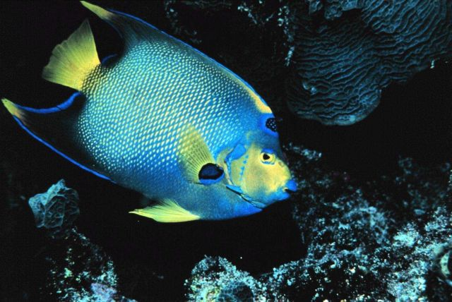 Queen angelfish at the reef Picture