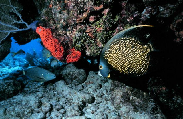 French angelfish at the reef Picture