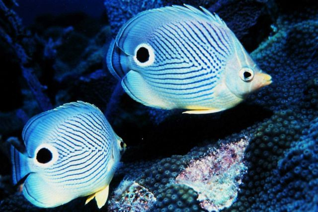 Two four-eyed butterfly fish Picture