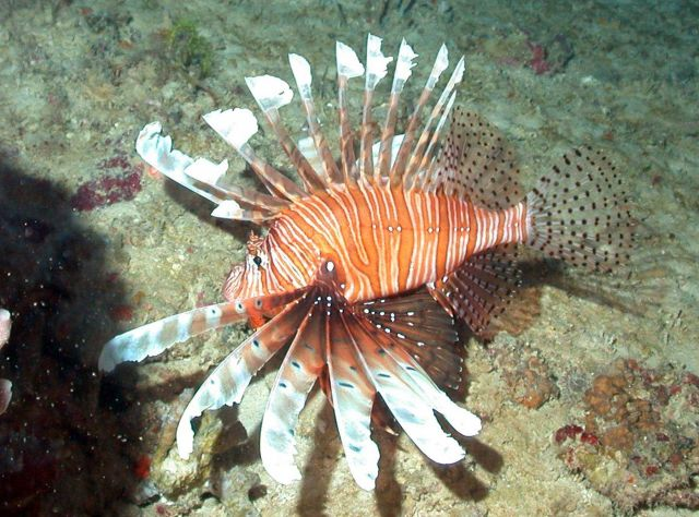 The invasive common lionfish (Pterois volitans) Picture
