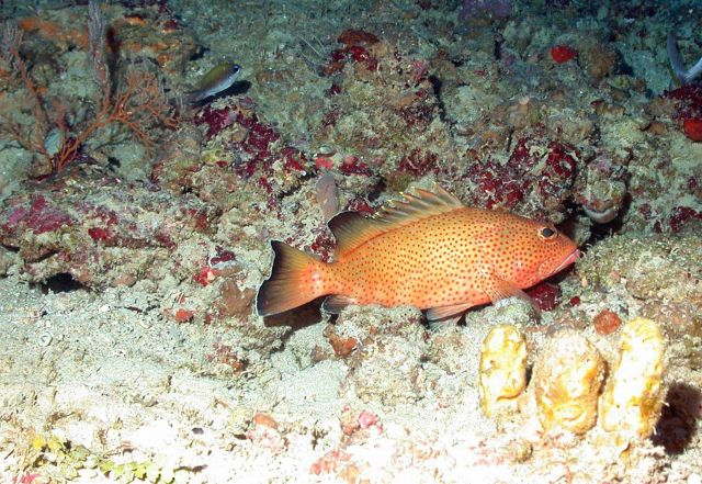 A coney (Cepalopholis fulva) on a rocky substrate with yellow sponges in foreground and an olive chromis (Chromis insolata) in the left background. Picture
