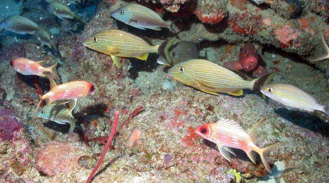 Longspined squirrelfish (Holocentrus rufus) , bluestriped grunts (Haemulon sciurus), white grunts ( Haemulon plumerii), a graysby (Cephalopholis cruen Picture