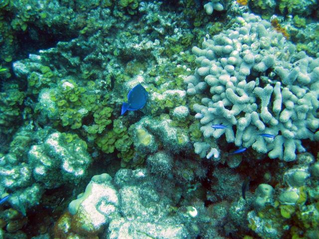A blue tang (Acanthurus coeruleus), encrusting fan-leaf algae (Lobophora sp.), finger coral (Porites porites), and a few blue chromis. Picture