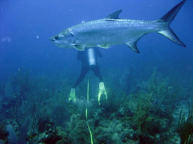 Tarpon (Megalops atlanticus) with scientist diver in the background. Picture