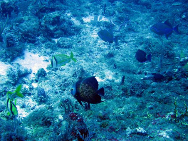 Porkfish (Anisotremus virginicus); Queen triggerfish (Balistes vetula); and French angelfish (Pomacanthus paru) Picture