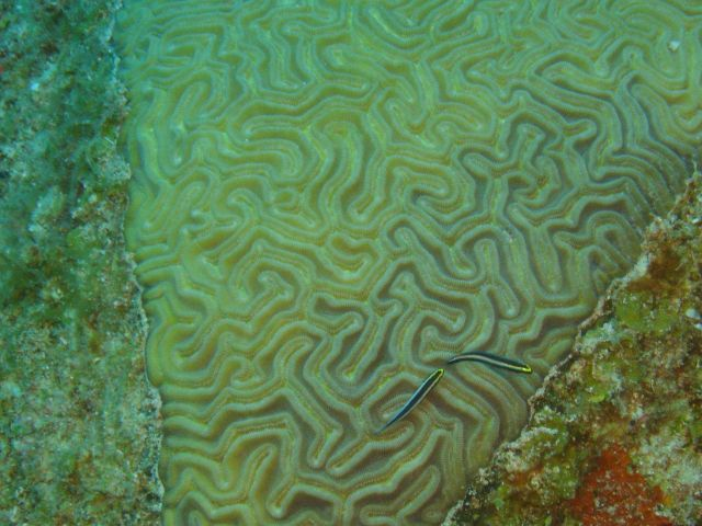 Grooved brain coral (Diploria labyrinthiformis) and Sharknose gobies (Elacatinus evelynae). Picture