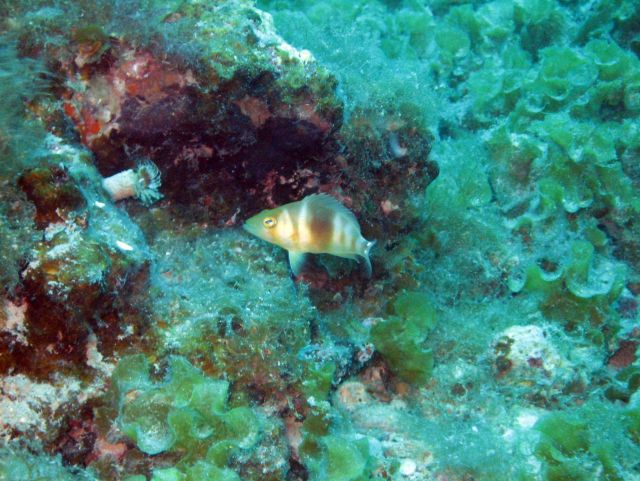 Barred hamlet (Hypoplectrus puella) in a patch of encrusting fan-leaf alga (Lobophora spp) Picture