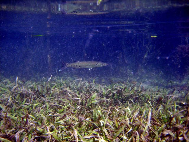 Great barracuda (Sphyraena barracuda) swimming over turtle grass (Thalassia testudinum). Picture