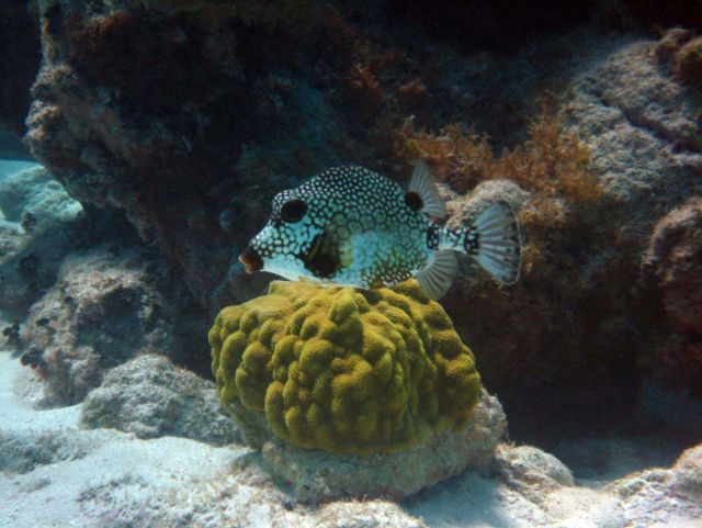 Smooth trunkfish (Lactophrys triqueter) and mustard hill coral (Porites astreoides) Picture