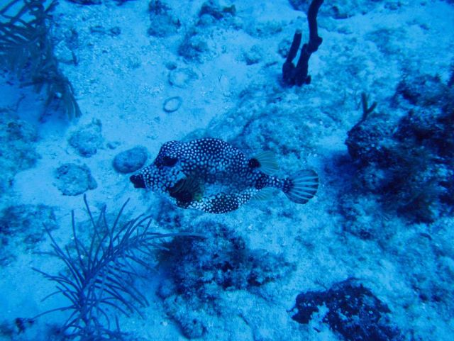 Smooth trunkfish side view (Lactophrys triqueter) Picture