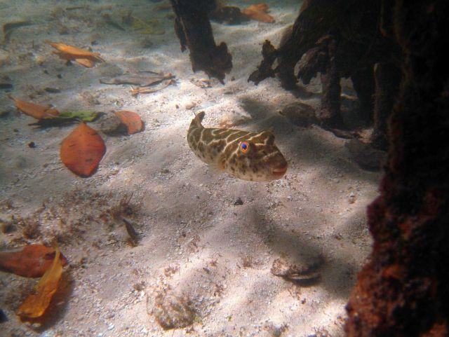 Checkered puffer (Sphoeroides testudineus) Picture