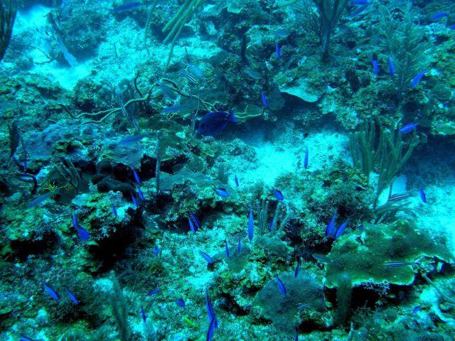 Blue tang (Acanthurus coeruleus), a school of blue chromis (Chromis cyanea), Lobophora sp Picture