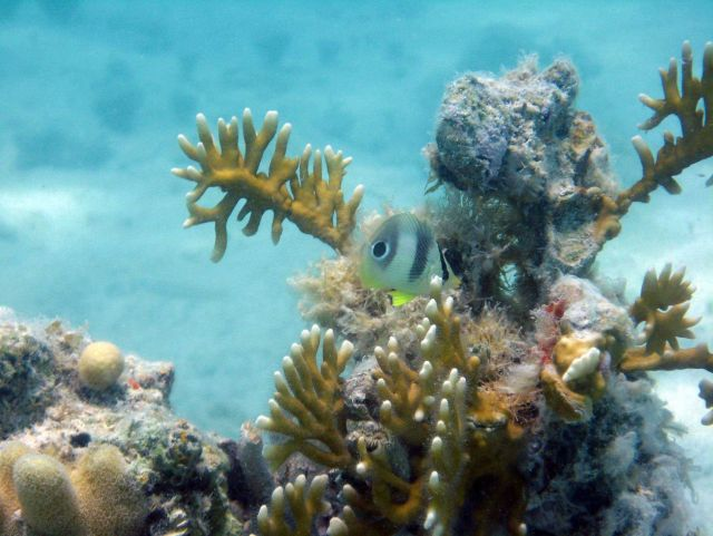 A foureye butterfly fish (Chaetodon capistratus) swimming over an outcrop with stands of fire coral (Millepora sp.). Picture