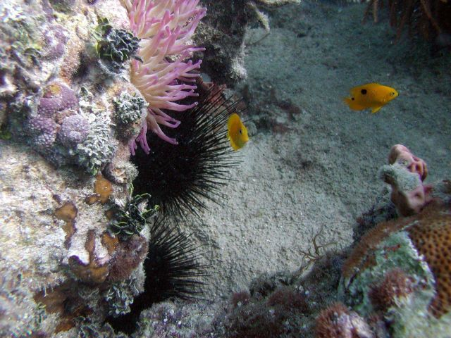 A threespot damselfish (Stegastes planifrons), a yellow tang (Acanthurus coeruleus), and a large pink anemone. Picture