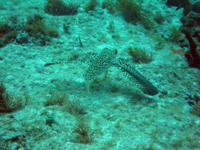 Flying gurnard (Dactylopterus volitans) Picture