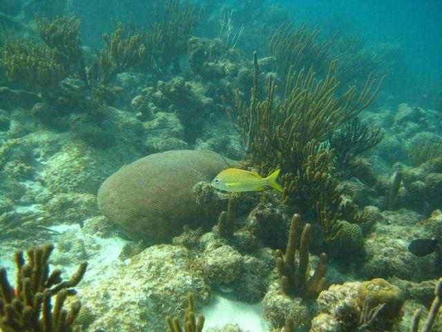 French grunt (Haemulon flavolineatum) and a massive starlet coral ( Siderastrea siderea) Picture