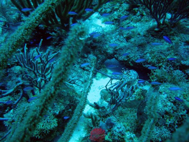 Blue chromis (Chromis cyanea) and a Caribbean spiny lobster (Panulirus argus) Picture