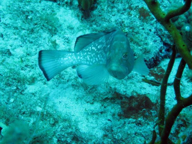 Red grouper (Epinephelus morio) Picture