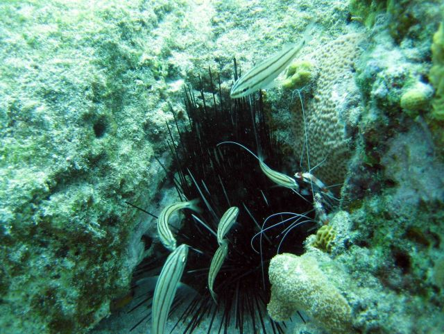 Grunt (Haemulon sp.) in close proximity to a long-spined urchin. Picture