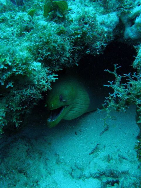 Green moray (Gymnothorax funebris) with Y branched algae and a small goby (Elacatinus sp) near its eye. Picture