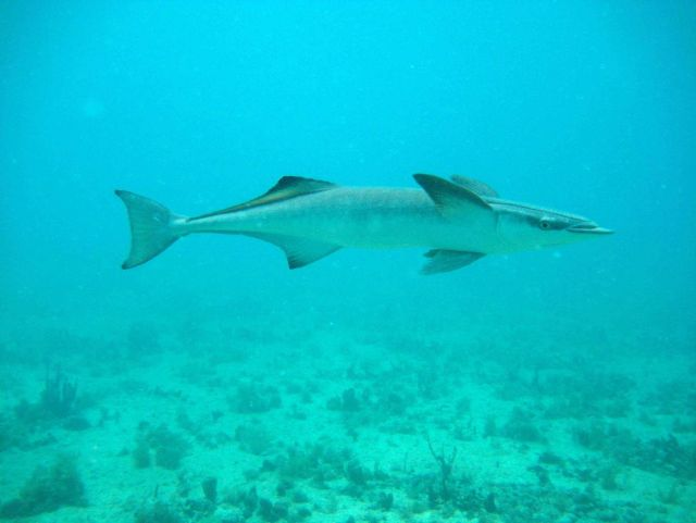 Common remora (Remora remora) Picture