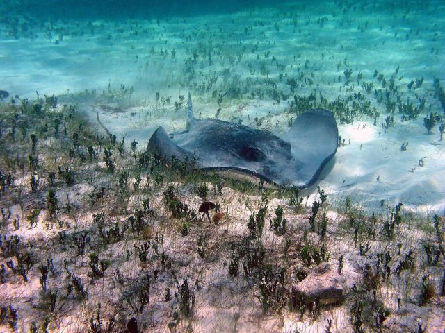 Southern stingray (Dasyatis americana) and Halimeda sp Picture