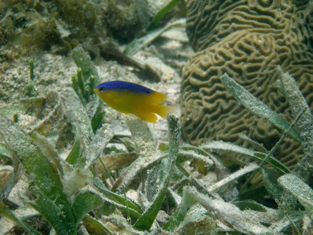 A longfin damselfish (Stegastes diencaeus) and a knobby brain coral (Diploria clivosa) in a turtle grass (Thalassia testudinum) bed. Picture