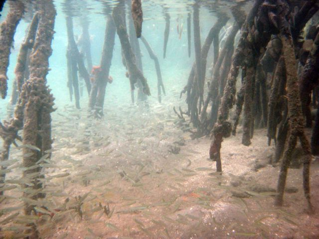 Herring (Jenkinsia sp.) and mangrove prop roots (Rhizophora rts Picture
