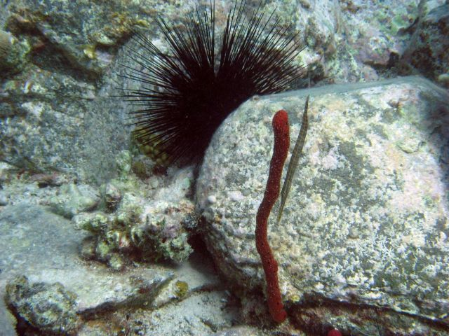 Trumpetfish (Aulostomus maculatus) with red finger sponge and long-spined urchin (Diadema antillarum) Picture