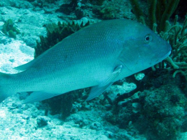 Mutton snapper (Lutjanus analis) Picture