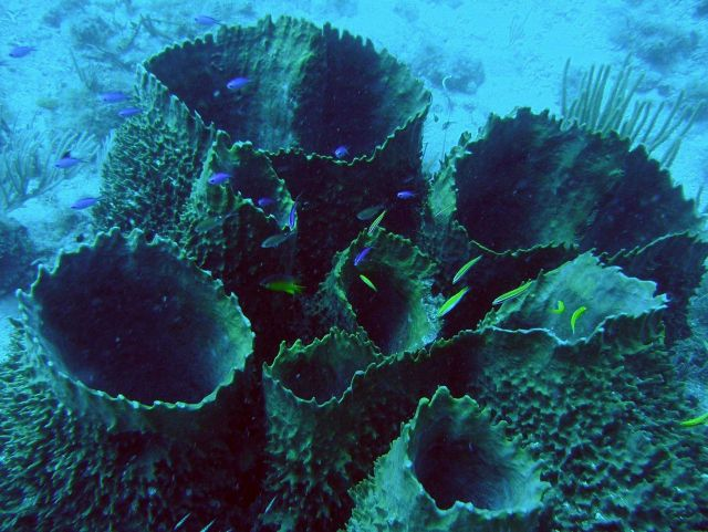 Large barrel sponges (Porifera sp) with blue chromis (Chromis cyanea) and other fish species. Picture
