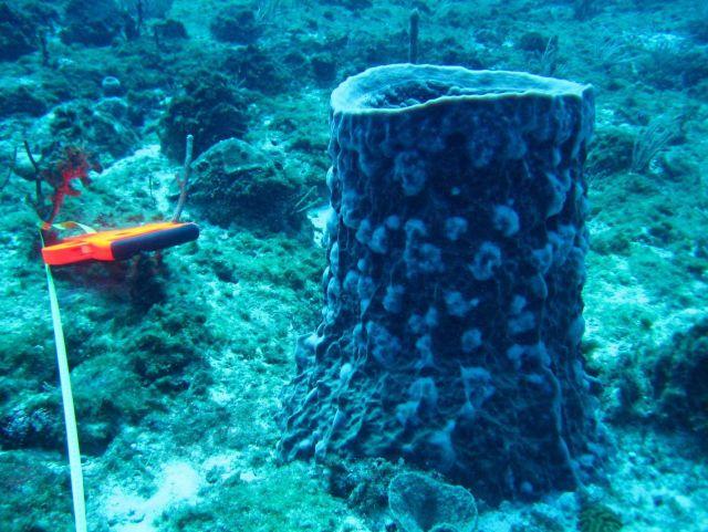 Blue barrel sponge (Porifera sp.) Picture