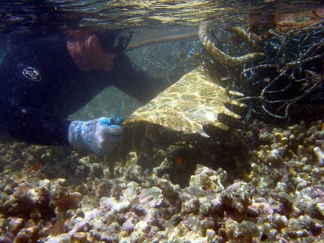 Green turtle skeleton entangled in derelict net. Picture