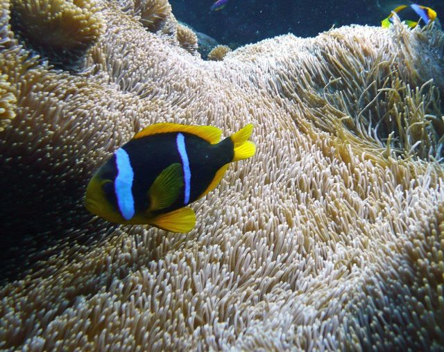Orange Fin Anemonefish (Amphiprion chrysopterus) Picture