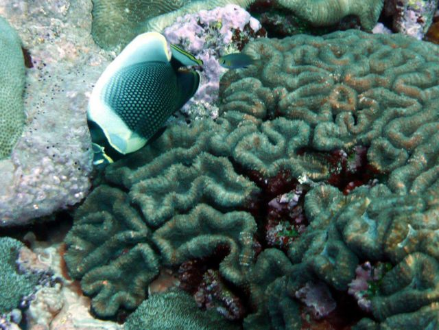 Reticulated butterflyfish (Chaetodon reticulatus) Picture