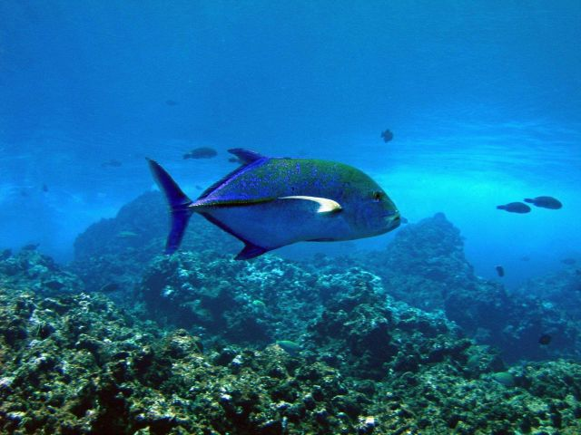 Bluefin trevally Picture
