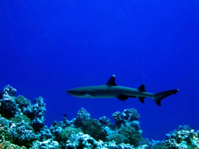Reef whitetip shark. Picture