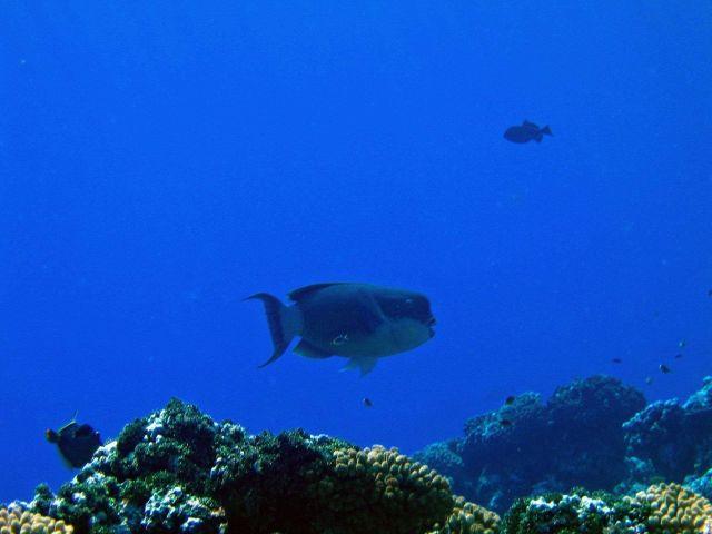 Bumphead parrotfish (Bolbometopon muricatum) Picture