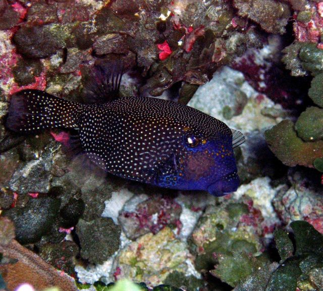 Spotted boxfish (Ostacion meleagris) Picture