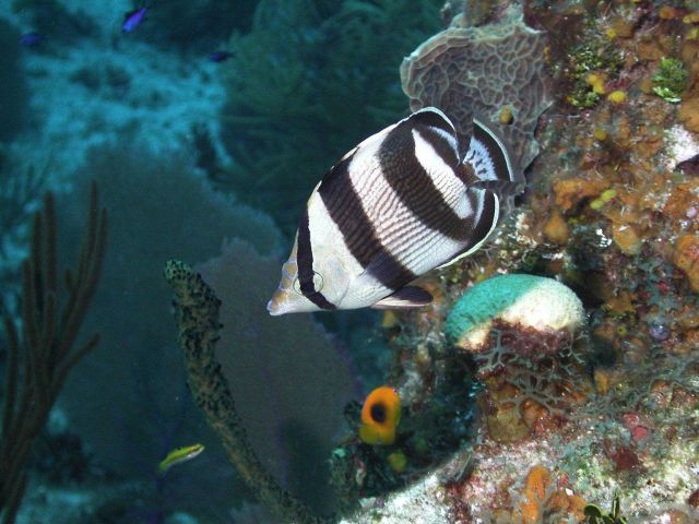 This banded butterflyfish is one of the more important predators on shallow coral reefs. Picture