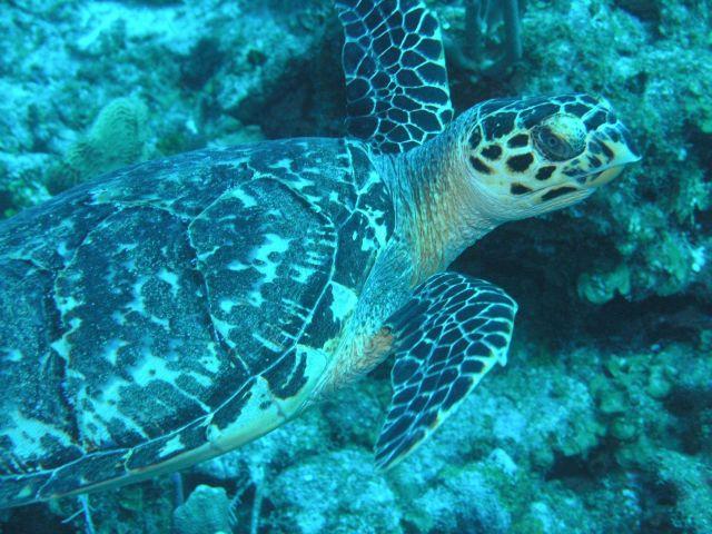 Hawksbill turtle Picture