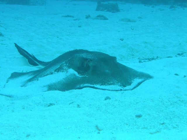 Southern stingray Picture