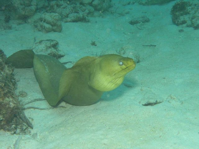 Green moray eel Picture