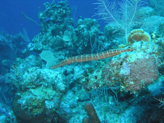 Trumpetfish Picture