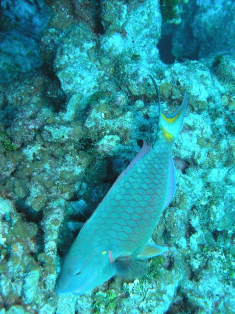 Stoplight parrotfish supermale (Sparisoma viride) Picture