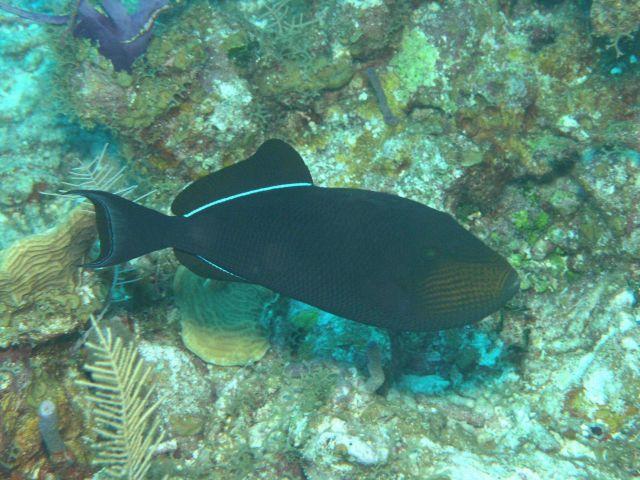Black durgon (Melichthys niger) Picture