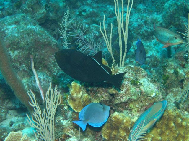 Black durgon (Melichthys niger) in center, stoplight parrotfish (Sparisoma viride)in lower right, blue tang (Acanthurus coeruleus) , and parrotfish (  Picture