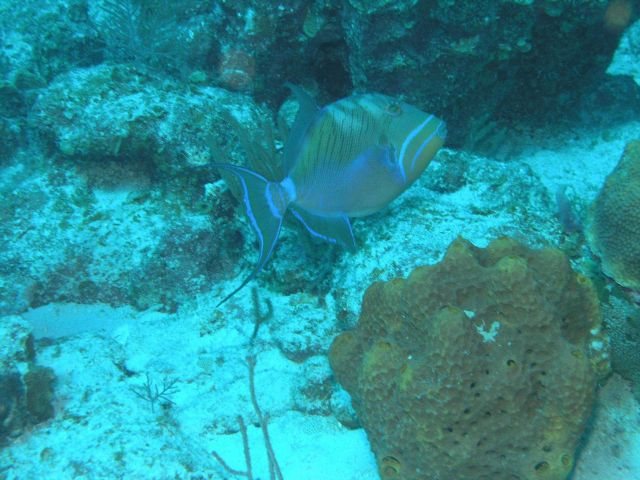 Queen triggerfish (Balistes vetula) Picture