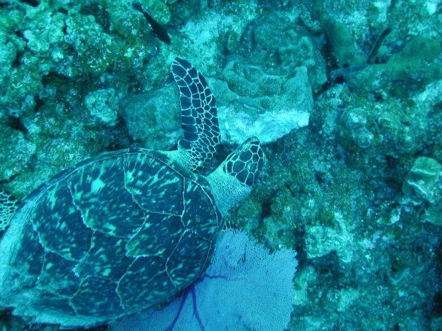 A Hawksbill turtle feeding on a sponge. Picture