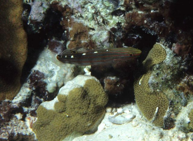 Rainsford goby (Amblygobius rainfordi) Picture